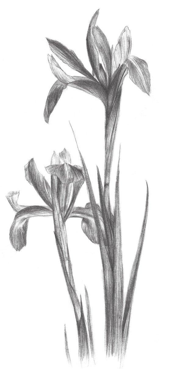 素描紫罗兰的绘画步骤教程