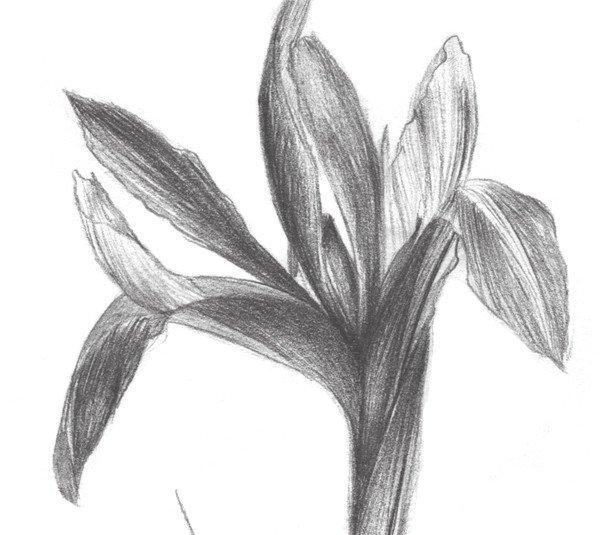 素描紫罗兰的绘画教程(3)