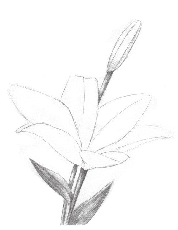 素描百合花的绘画步骤三