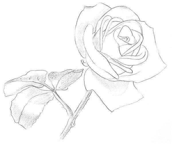 1、先观察玫瑰的外形,画出玫瑰花的大概轮廓,注意物体的基本形态。  素描白玫瑰的绘画步骤一 2、刻画出玫瑰花的内部轮廓,不要把线条画得太实,太实会使画面看着比较沉闷。  素描白玫瑰的绘画步骤二 3、擦除多余辅助线,深入刻画出玫瑰的边缘线,线条清晰。  素描白玫瑰的绘画步骤三 4、整体刻画出玫瑰的明暗关系,增加画面的立体感。