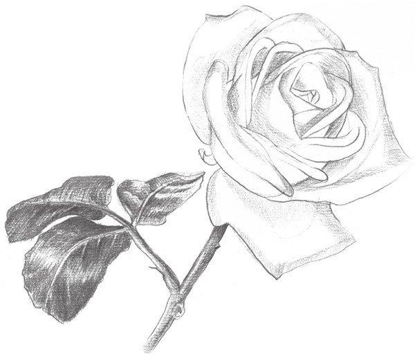 素描白玫瑰的绘画步骤六