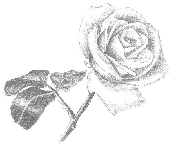 素描白玫瑰的绘画技法 3图片