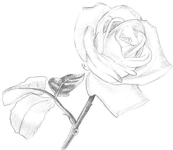 素描白玫瑰的绘画技法(3)