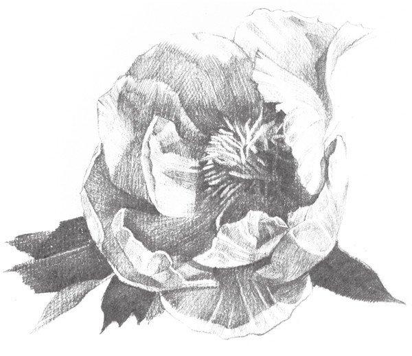 素描牡丹花的绘画步骤教程 2图片