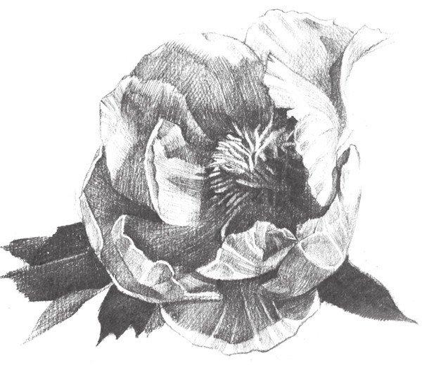 素描牡丹花的绘画步骤教程(3)