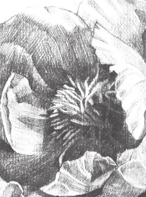 素描牡丹花的绘画步骤教程 3图片