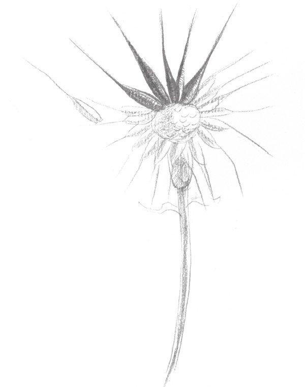 静物素描 > 素描蒲公英的绘画步骤(3)      5,局部加重蒲公英的花芯部