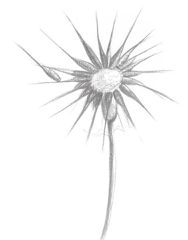 素描蒲公英的绘画步骤(3)