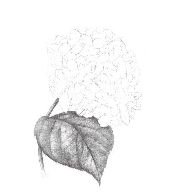 素描绣球花的绘画步骤三