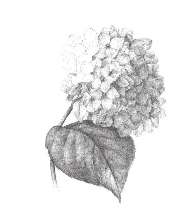 素描绣球花的绘画步骤六