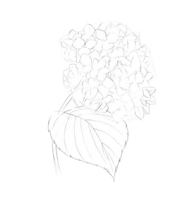素描绣球花的绘画步骤二