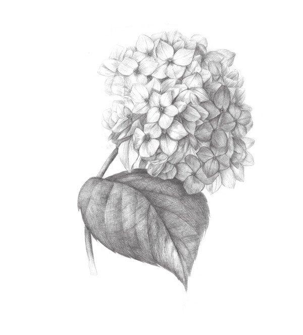 素描绣球花的绘画步骤八