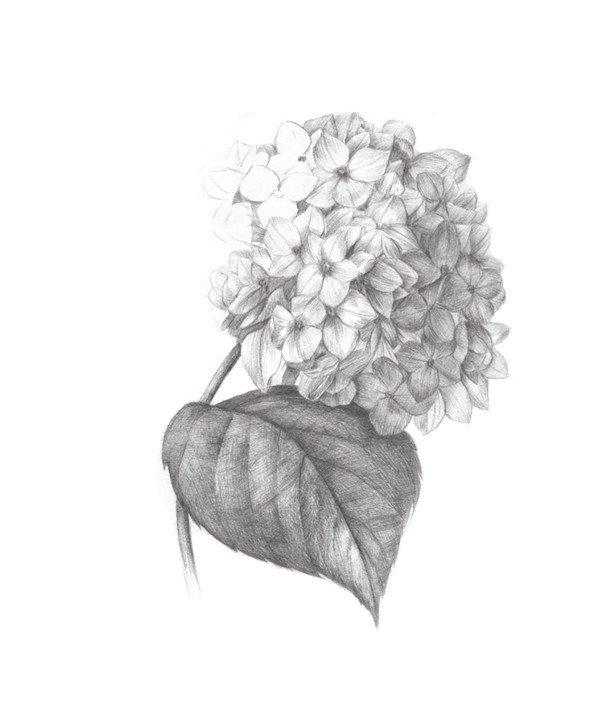 素描绣球花的绘画步骤七