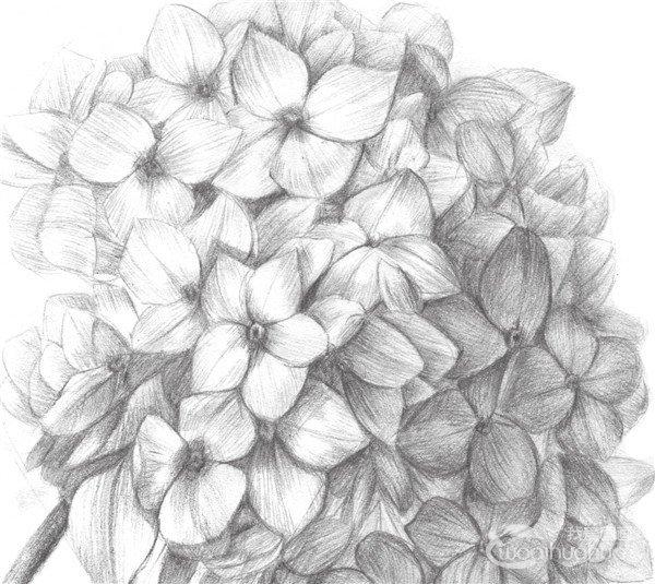 素描绣球花的绘画教程(4)