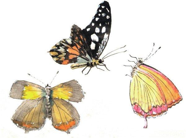 3、给翅膀填色,从靠近身体的赭石向外渐变为曙红、花青、藤黄,颜色应淡些。  国画蝴蝶的绘画步骤三 4、画翅膀上的斑纹,画肢体触角。  国画蝴蝶的绘画步骤四 5、各类蝴蝶,画侧面的蝴蝶要画出前后翅膀的颜色变化,近实远虚。  国画蝴蝶的绘画步骤五 对于国画初学者来说,色彩的掌握也是必经之路,要注意蝴蝶前后翅膀的颜色变化,近实远虚。