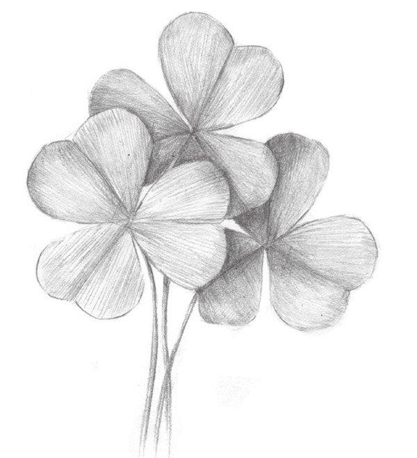 素描三叶草的绘画步骤五