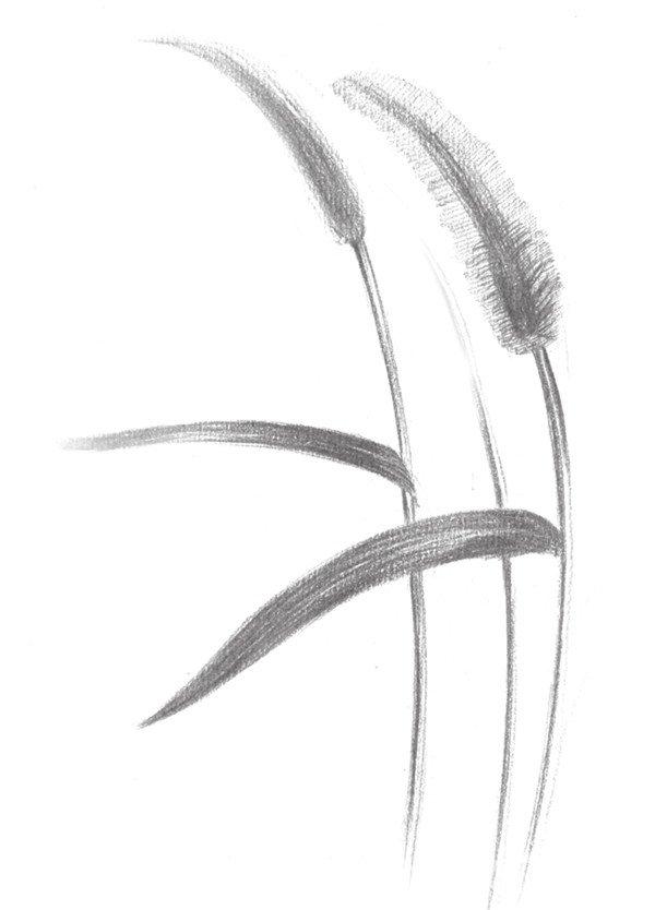 5、继续完善毛毛草的暗部,局部画出毛毛草的毛毛,线条排线要清晰。  素描毛毛草的绘画步骤五 6、用橡皮擦出叶子的纹理线,再用尖笔刻画修饰,然后继续画毛毛草的毛,无规则地排线。  素描毛毛草的绘画步骤六 7、这部分开始完善毛毛草的细节部分,完整地画完另一个毛毛草。  素描毛毛草的绘画步骤七 8、整体调整,用尖橡皮擦毛毛草,体现出层次感,这样毛毛草就画完了。  素描毛毛草的绘画步骤八
