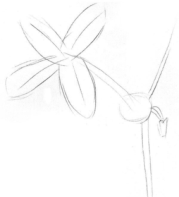 素描植物含羞草的绘画步骤教程