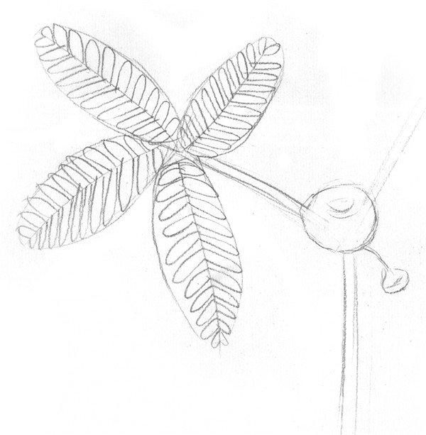 素描植物含羞草的绘画步骤教程(2)