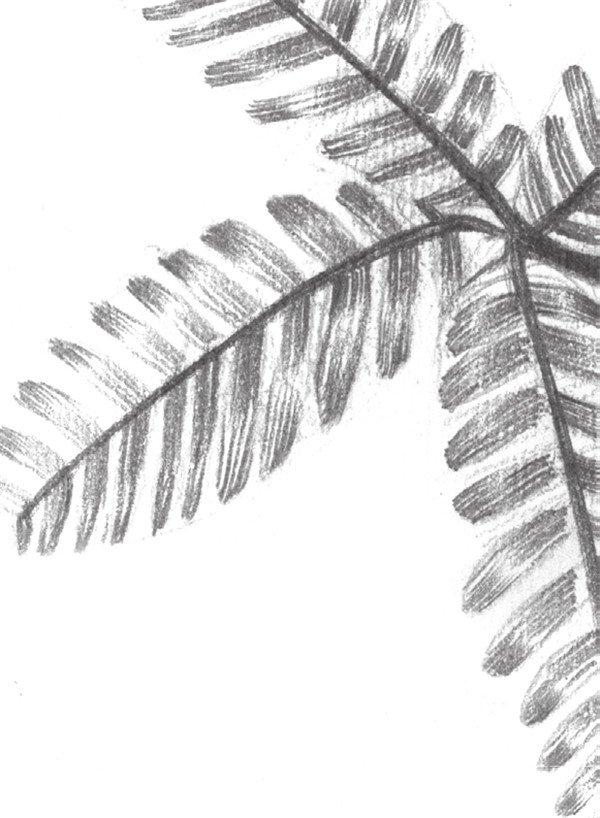 6、逐步画完含羞草的暗部,含羞草的整体色调就初步铺设完成了。  素描植物含羞草的绘画步骤教程六 7、加重含羞草的暗部,并由含羞草尖向内画射线,留出高光。  素描植物含羞草的绘画步骤教程七 8、画出含羞草的茎,注意黑、白、灰的对比,整体调整,这样含羞草就画完了。  素描植物含羞草的绘画步骤教程八