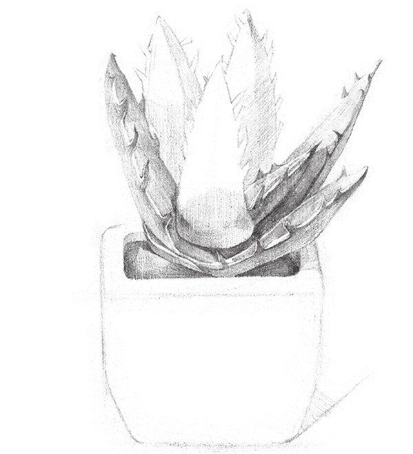 素描芦荟的绘画步骤(3)