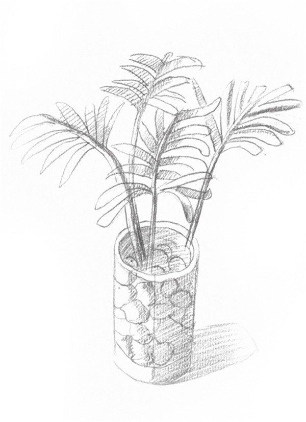 素描椰子树的绘画步骤四