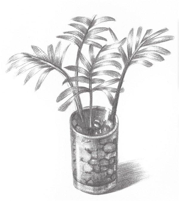 素描椰子树的绘画步骤七