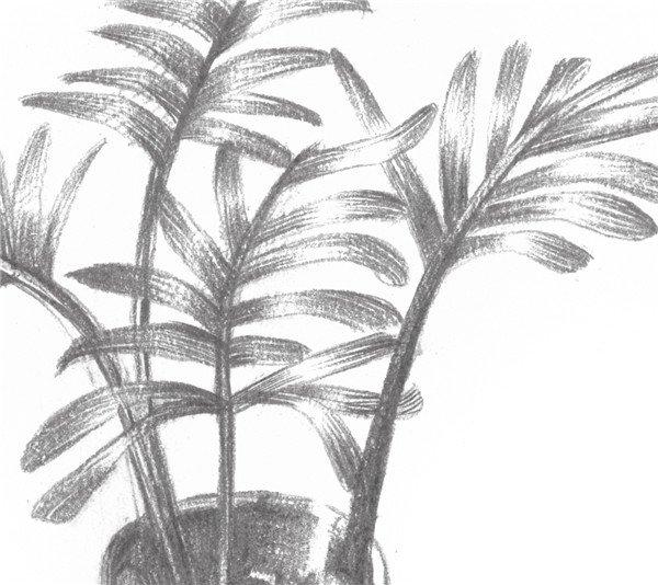 素描椰子树的绘画步骤七 二,素描椰子树的绘制要点 画椰子树的叶子要
