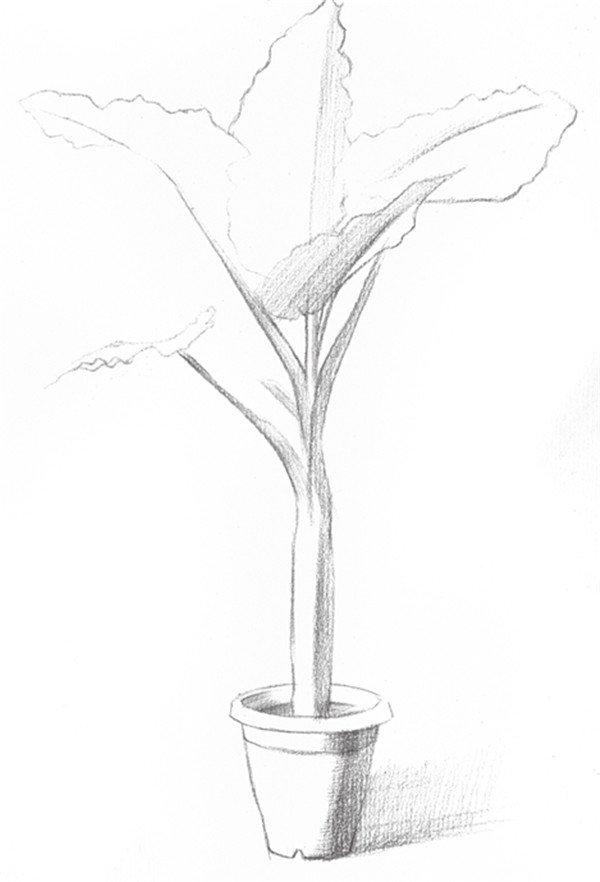 素描盆栽滴水观音的绘画技法步骤二