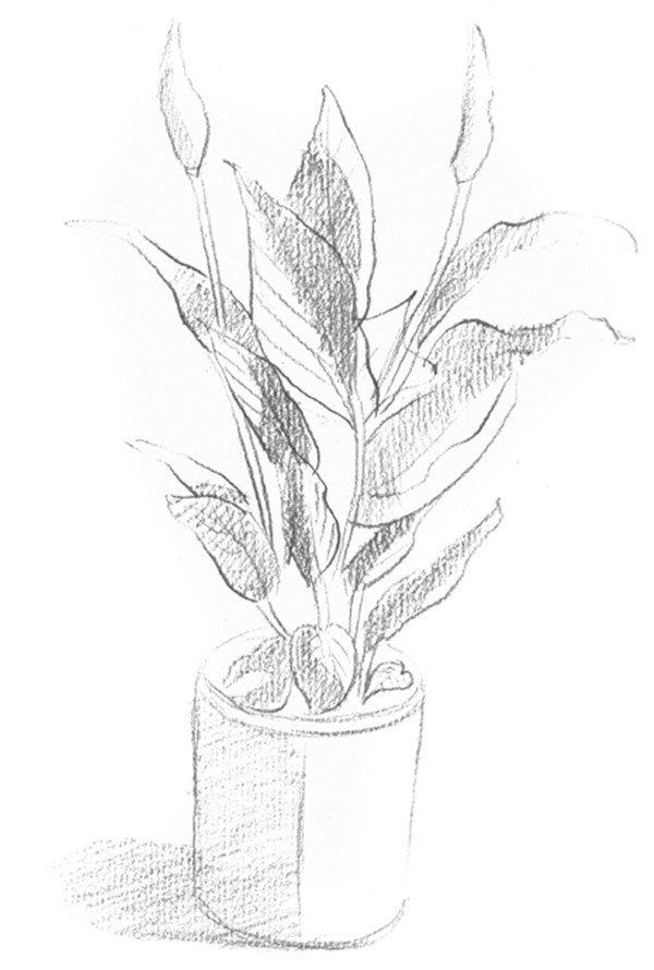 素描白掌的绘画步骤(3)