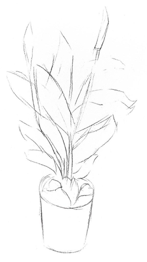 素描白掌的绘画步骤(2)