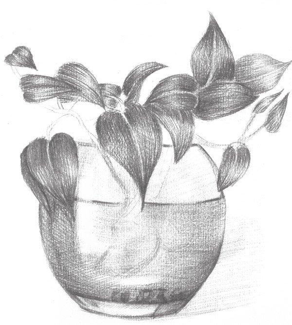 素描水培绿萝的绘画教程 4