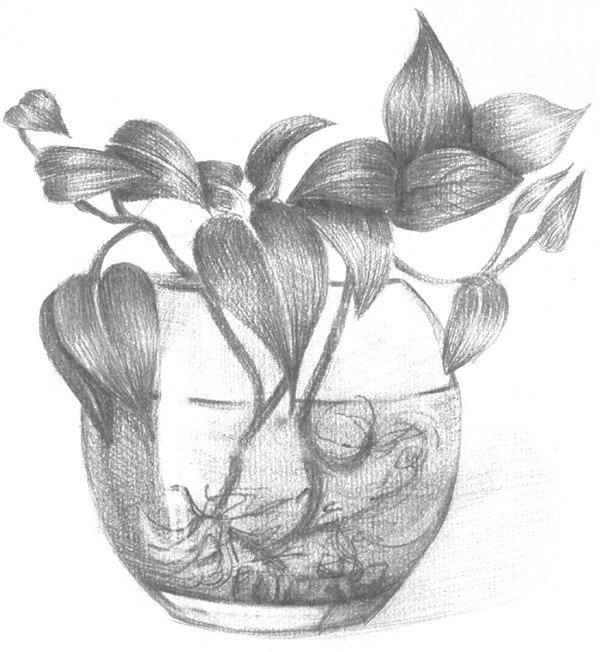 素描水培绿萝的绘画步骤八