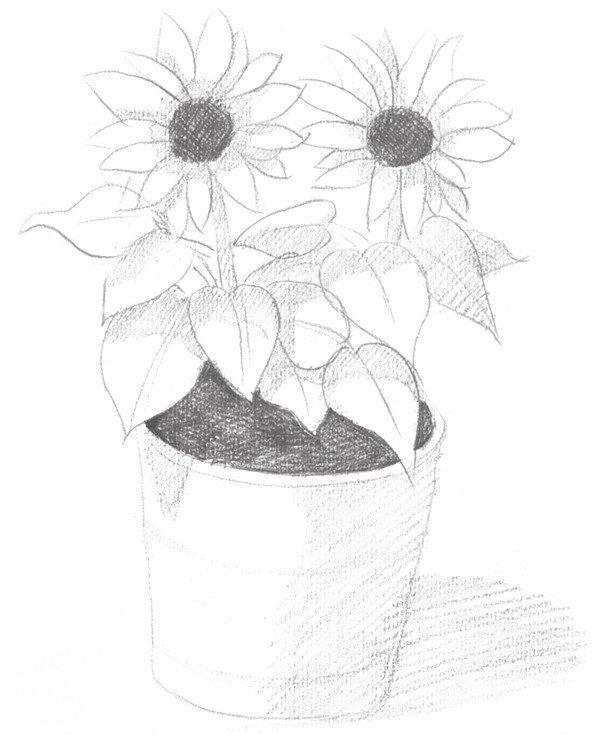 素描太阳花的绘画步骤四