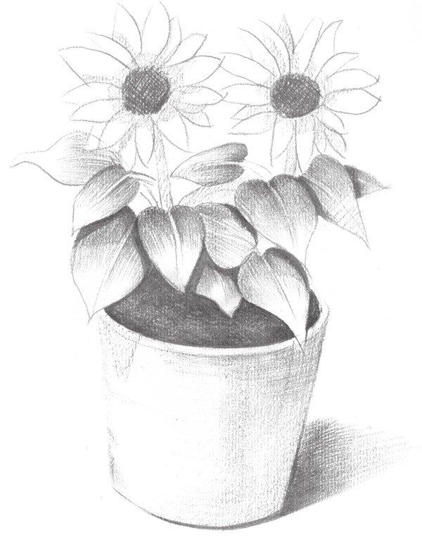 素描太阳花的绘画步骤五