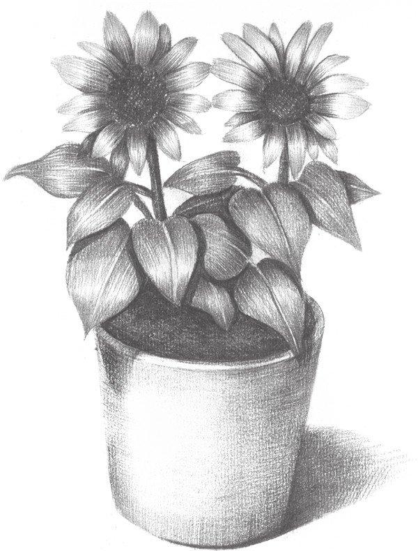 素描太阳花的绘画技法图片
