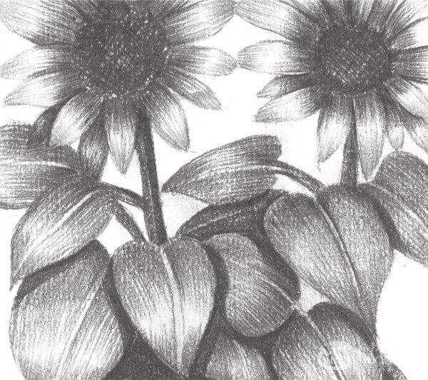 7、开始局部深入刻画太阳花瓣和叶子,完善细节部分的描绘。  素描太阳花的绘画步骤七 8、继续画完太阳花,整体调整,注意整体黑、白、灰的表现,这样太阳花盆栽就完成了。  素描太阳花的绘画步骤八