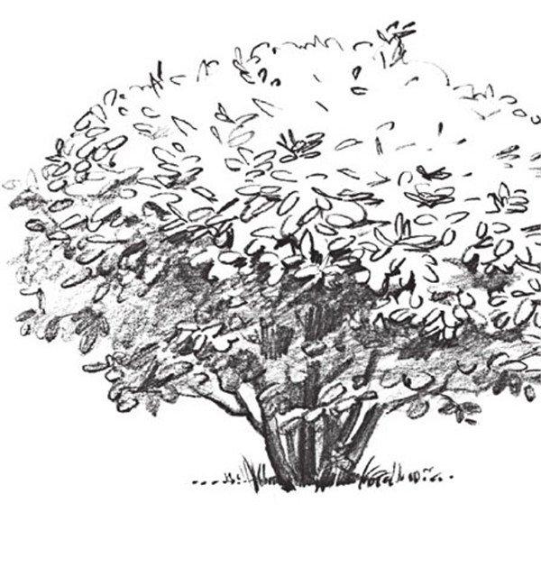 4、继续画出冬青的部,加深树干。  素描冬青的绘画步骤四 5、继续刻画冬青的叶子,用软一点的铅笔打圈圈。  素描冬青的绘画步骤五 6、画出冬青树的阴影,用橡皮点擦出高光部分,整体调整,这样冬青树就画完了。  素描冬青的绘画步骤六