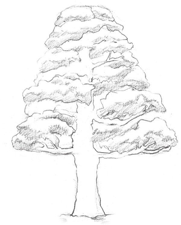 素描古松的完成稿绘画步骤四