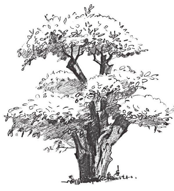 5,用铅笔排小组线条,来表现榕树的叶子.