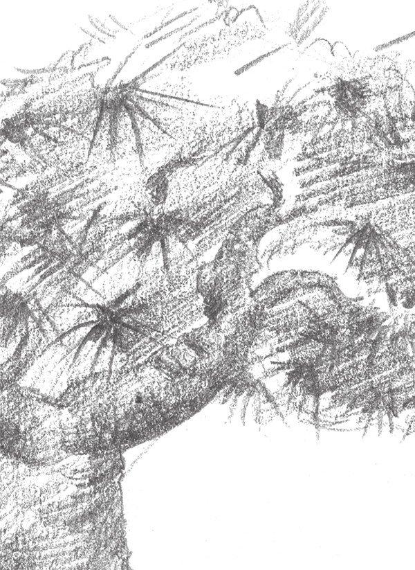 素描松树的绘画教程 3图片