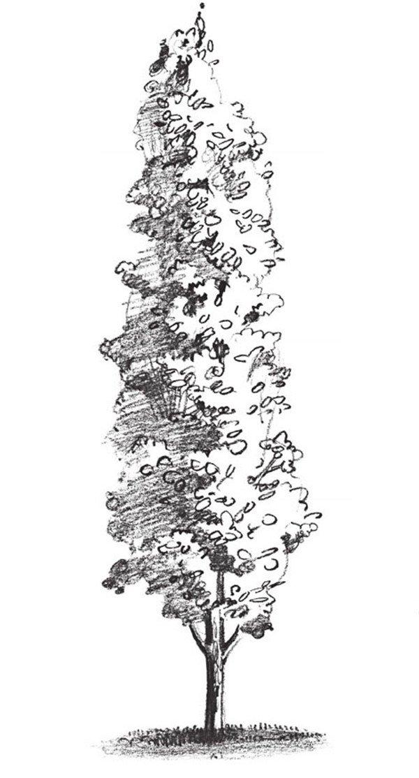 素描杨树的绘画技法(4)