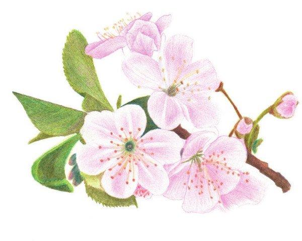 彩铅画樱花绘画技法