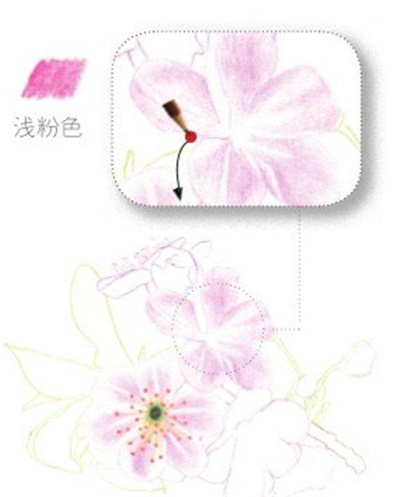彩铅画樱花绘画技法(3)