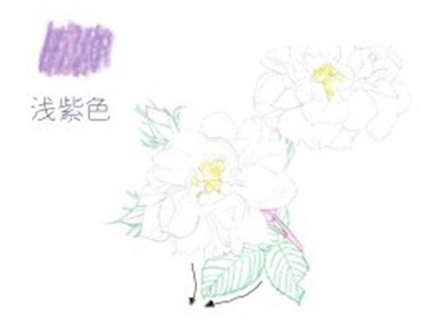 > 彩铅月季的绘画步骤(3)      (4)继续用浅紫色的铅笔把花朵剩下的