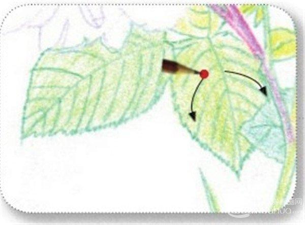 彩铅月季的绘画步骤(8)