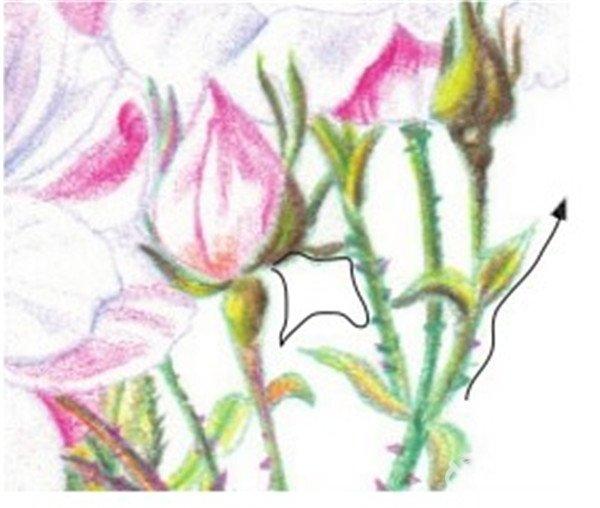 彩铅月季的绘画步骤(7)
