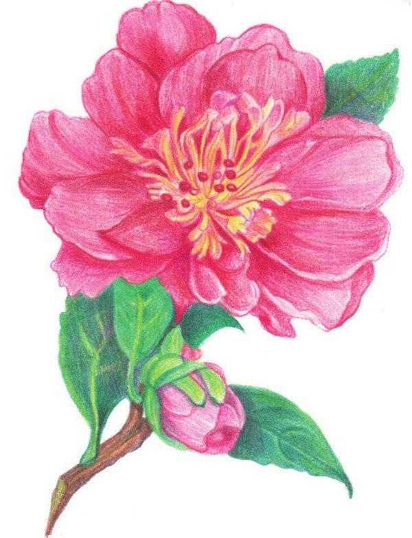 彩铅山茶花的绘画技法
