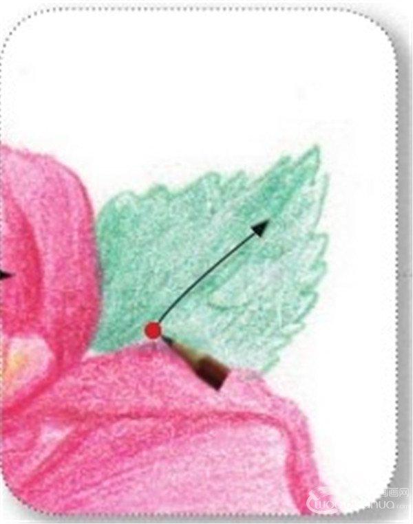 3,绘制山茶花的叶和茎    (1)用粉绿色的铅笔勾画叶子,注意叶脉
