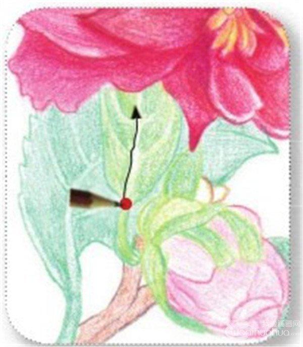 其他绘画教程 > 彩铅山茶花的绘画技法(12)      (13) 用粉绿色的铅笔
